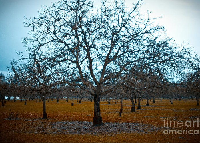 Sonoma County Greeting Card featuring the photograph Winter Orchard by Derek Selander