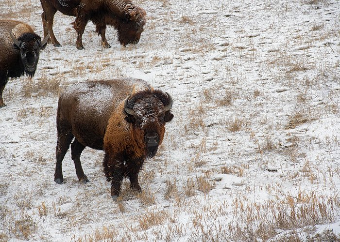 Buffalo Greeting Card featuring the photograph Winter Pasture by Derald Gross