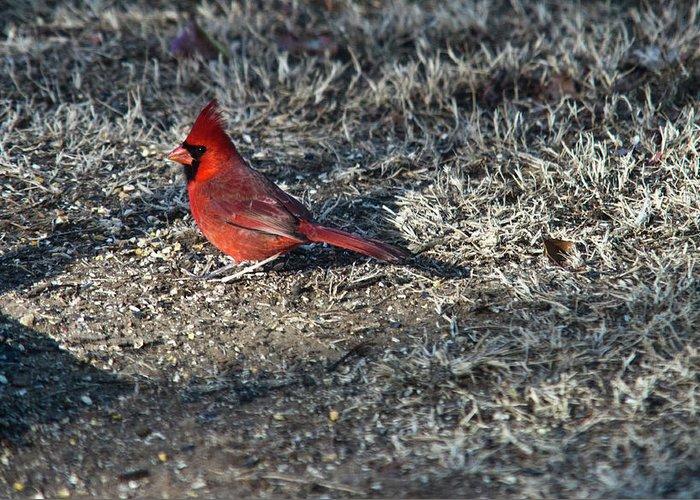 Arkansas Greeting Card featuring the photograph Winter Redbird by Douglas Barnett
