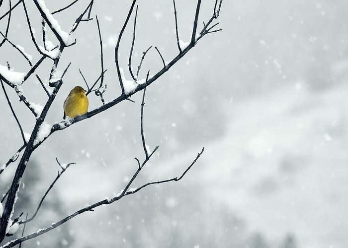 Goldfinch Greeting Card featuring the photograph Winter Snow With A Touch Of Goldfinch For Color by Laura Mountainspring