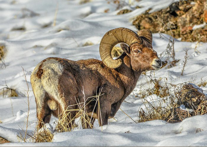 Bighorn Ram Greeting Card featuring the photograph Wintering Bighorn by Jason Brooks