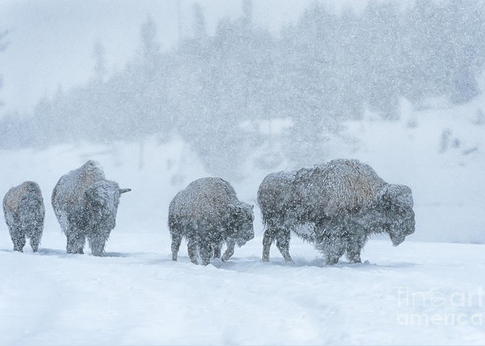 Bison Greeting Card featuring the photograph Winter's Burden by Sandra Bronstein