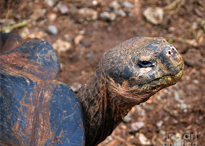 Chelonoidis Nigra Greeting Card featuring the photograph Wise Old Tortoise by Catherine Sherman