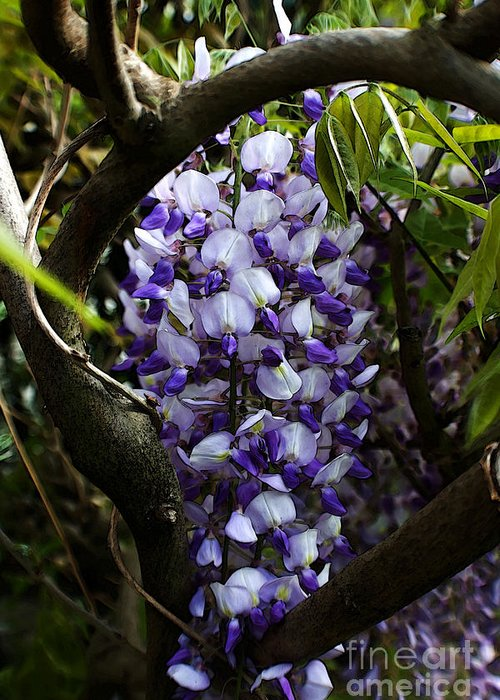 Wisteria Greeting Card featuring the photograph Wisteria Vine by Robin Lynne Schwind