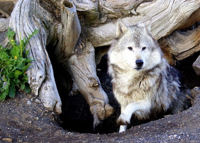 Wolf Greeting Card featuring the photograph Wolf Den 1 by Marty Koch
