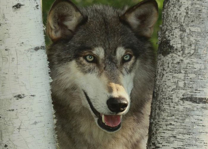 Wolf Greeting Card featuring the photograph Wolf In The Birch Trees by Myrna Bradshaw