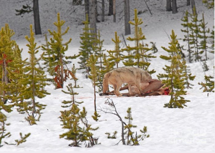 Wolf Greeting Card featuring the photograph Wolf On Elk Kill by Dennis Hammer