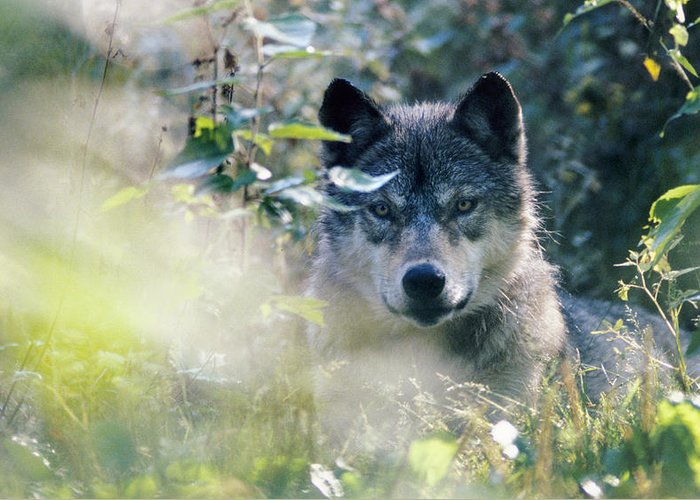 Wolf Greeting Card featuring the photograph Wolf Stare by Steve Somerville
