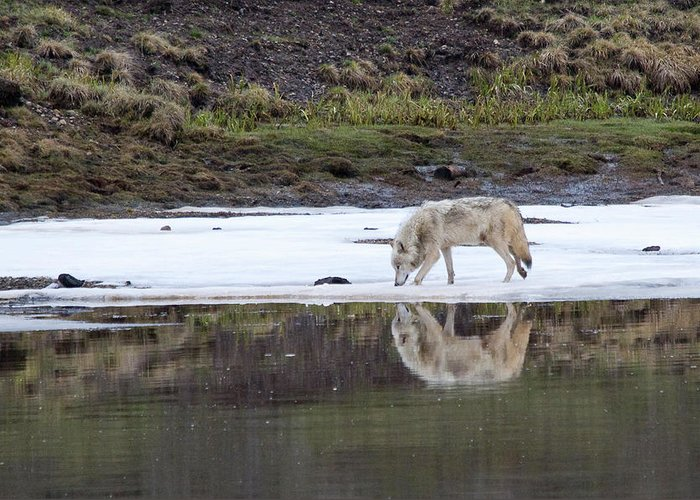 Yellowstone Greeting Card featuring the photograph Wolflection by Steve Stuller