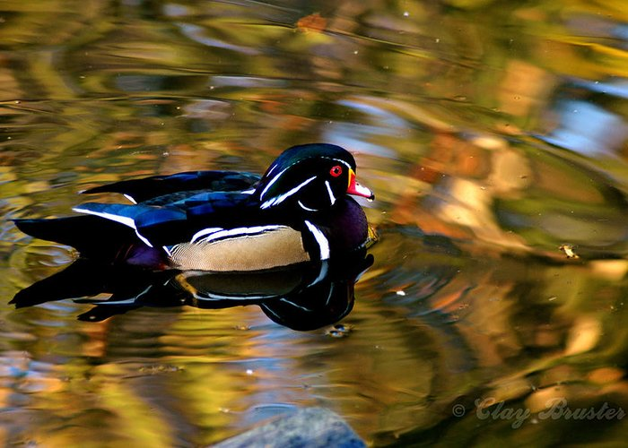 Clay Greeting Card featuring the photograph Wood Duck by Clayton Bruster