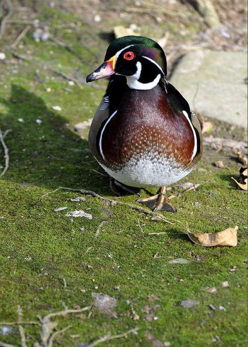 Birds Greeting Card featuring the photograph Wood Duck On Moss by Jan Amiss Photography