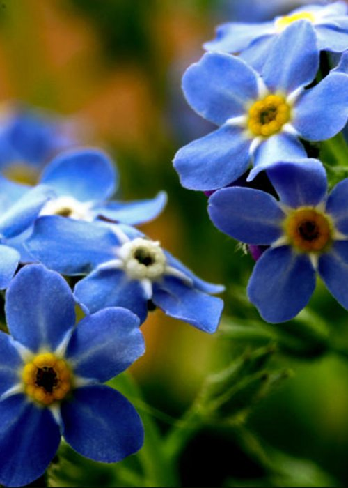 myosotis Sylvatica Greeting Card featuring the photograph Wood Forget Me Not Blue Bunch by Ryan Kelly