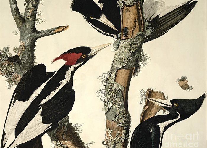 Woodpecker Greeting Card featuring the drawing Woodpecker by John James Audubon