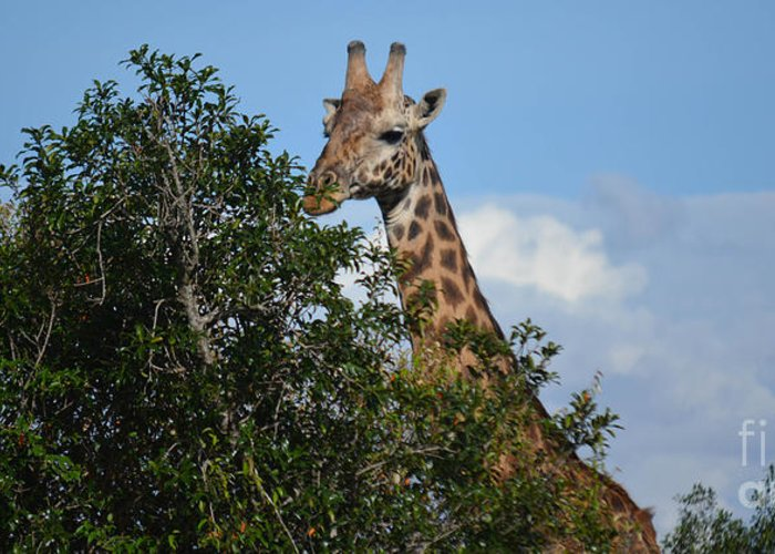 Animal Greeting Card featuring the photograph World's Tallest Mammal by Gary Keesler