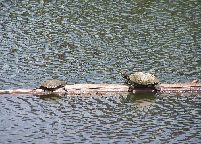 Turtles Greeting Card featuring the photograph Wrong Way by Vijay Sharon Govender