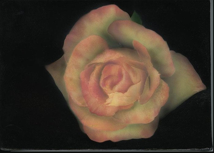 Rose Greeting Card featuring the painting Yello Rose by Charles Parks