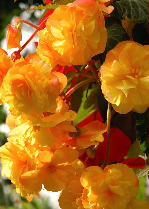 Begonia Flowers Greeting Card featuring the photograph Yellow Begonia Flowers. Victoria by Darlyne A. Murawski