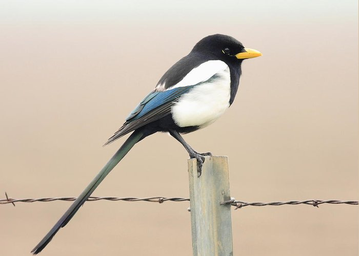 Bird Greeting Card featuring the photograph Yellow-billed Magpie by Wingsdomain Art and Photography
