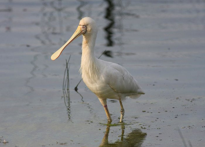 Spoonbill Greeting Card featuring the photograph Yellow-billed Spoonbill by Tony Brown
