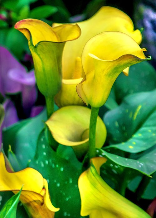 Spring Flowers Greeting Card featuring the photograph Yellow Calla Lilies by Az Jackson