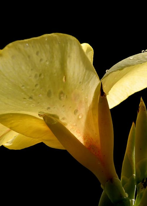 Yellow Greeting Card featuring the photograph Yellow Canna by Jeannie Burleson