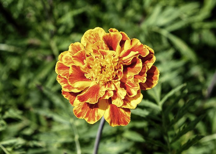 Background Greeting Card featuring the photograph Yellow Carnation by Adrian Bud