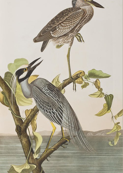 Crowned Heron Greeting Cards