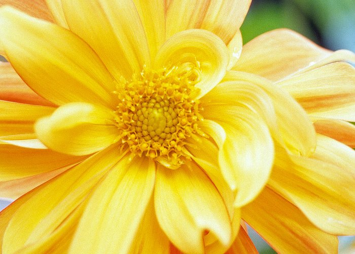 Dahlia Photographs Greeting Card featuring the photograph Yellow Dahlia by Kathy Yates
