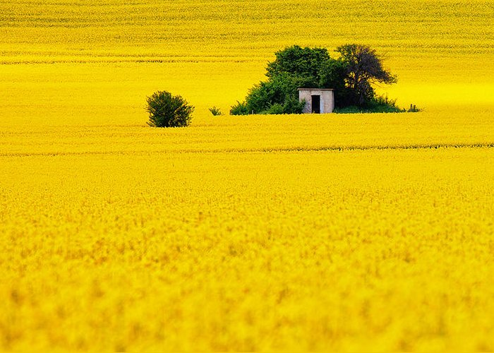 Field Greeting Card featuring the photograph Yellow by Evgeni Dinev