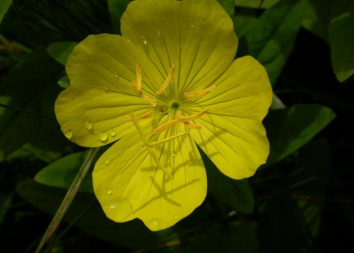 Flowers Greeting Card featuring the photograph Yellow Flower by Raju Alagawadi