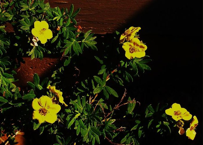 Photo Greeting Card featuring the photograph Yellow Flowers In The Sun by Marsha Heiken