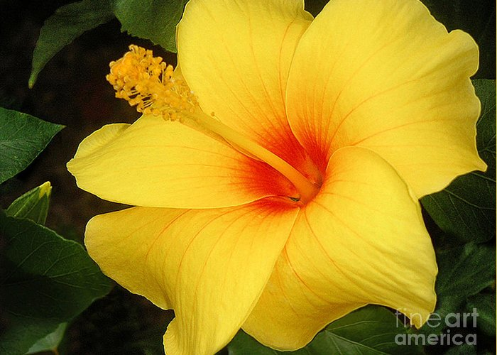 Nature Greeting Card featuring the photograph Yellow Hibiscus by Lucyna A M Green
