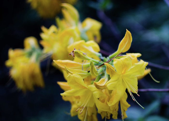 Flower Greeting Card featuring the photograph Yellow Rhododendron Flower by Kyrill Cousson
