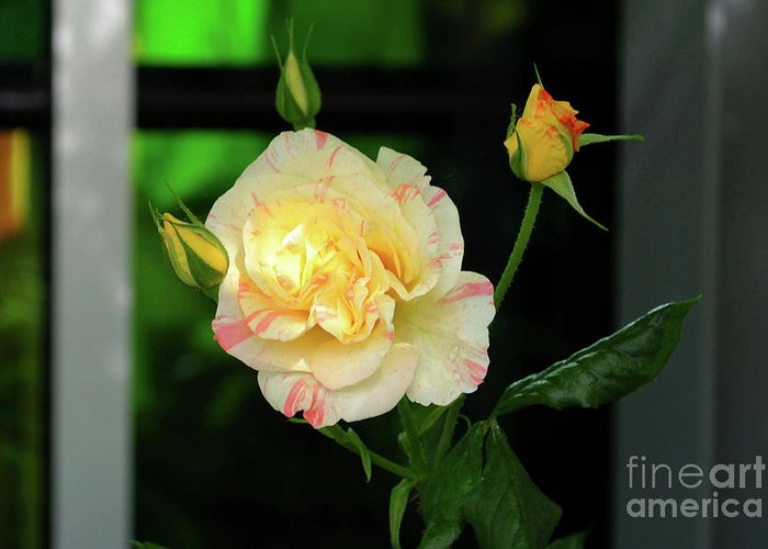 Rose Greeting Card featuring the photograph Yellow Rose by Alicia Espinosa