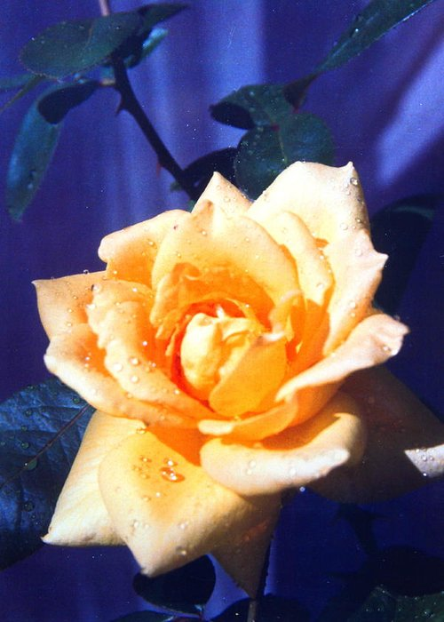 Floral Greeting Card featuring the photograph Yellow Rose Of Texas by M Diane Bonaparte