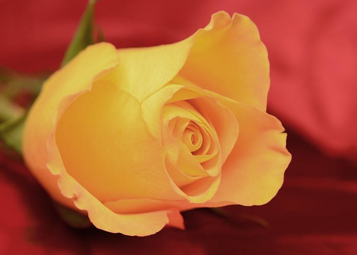 Macro Of Flowers Greeting Card featuring the photograph Yellow Rose On Red by Laura Mountainspring