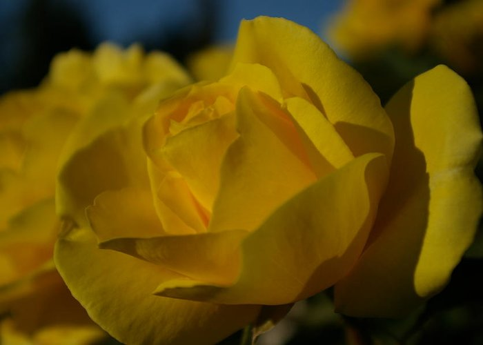 Flower Greeting Card featuring the photograph Yellow Rose by Sandra Shaw