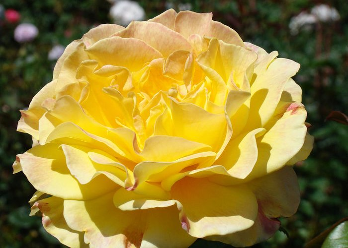 Rose Greeting Card featuring the photograph Yellow Rose Sunlit Summer Roses Flowers Art Prints Baslee Troutman by Baslee Troutman