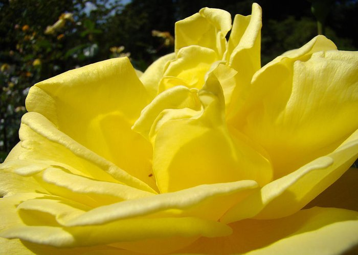 Rose Greeting Card featuring the photograph Yellow Rose Sunny Art Prints Roses Flowers Baslee Troutman by Baslee Troutman