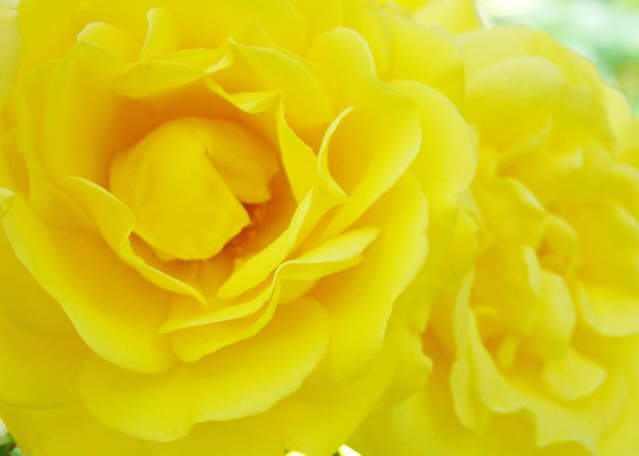 Rose Greeting Card featuring the photograph Yellow Roses Art Prints Botanical Giclee Prints Baslee Troutman by Baslee Troutman