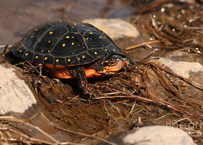 Turlte Greeting Card featuring the photograph Yellow-spotted Turtle Crawling Through Wetland by Max Allen