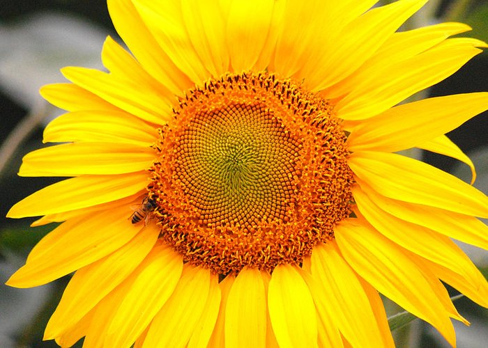 Sunflower Greeting Card featuring the photograph Yellow Sunflower With Bee by Amy Fose