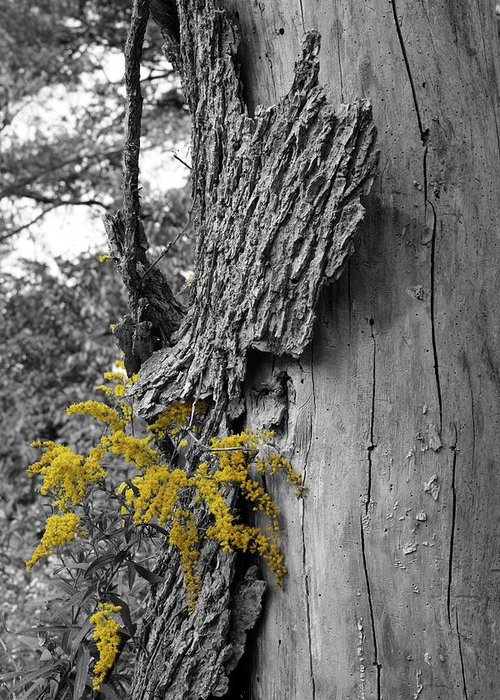 Bark Greeting Card featuring the photograph Yellow Tufts by Dylan Punke