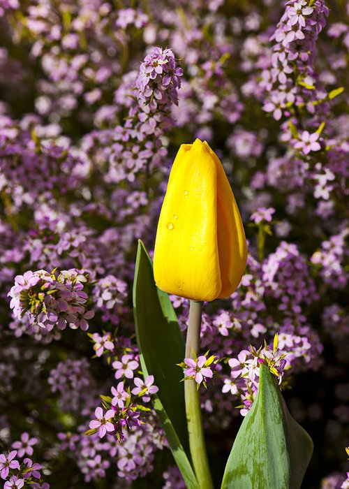 Single Yellow Greeting Card featuring the photograph Yellow Tulip In The Garden by Garry Gay