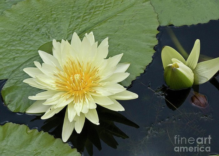 Water Llilies Greeting Card featuring the photograph Yellow Water Lily With Bud Nymphaea by Heiko Koehrer-Wagner
