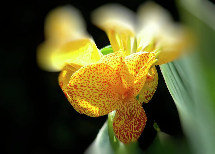 Canna Greeting Card featuring the photograph Yellow With Red Spots by Douglas Barnard