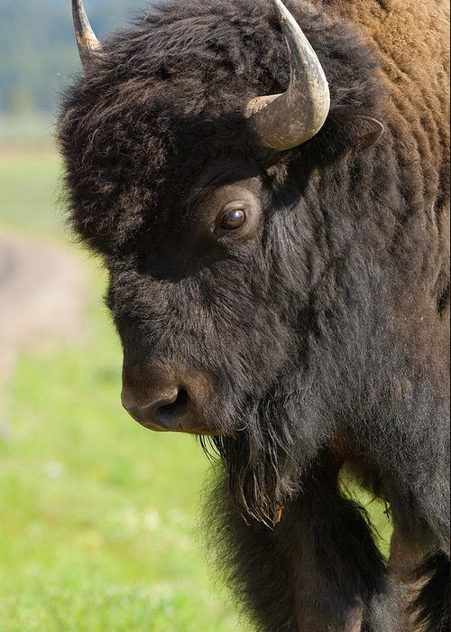 Bison Greeting Card featuring the photograph Yellowstone Bison Portrait by Sandra Bronstein