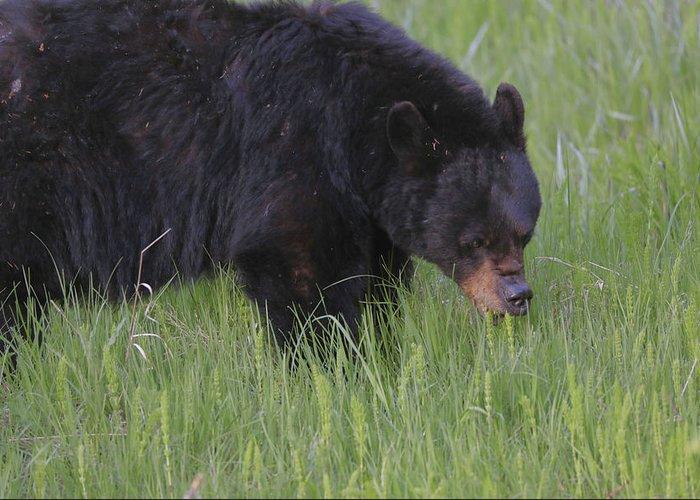 Yellowstone Black Bear Grazing Greeting Card featuring the photograph Yellowstone Black Bear Grazing by Dan Sproul