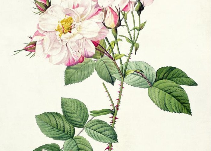 Rosa Greeting Card featuring the drawing York And Lancaster Rose by Pierre Joseph Redoute