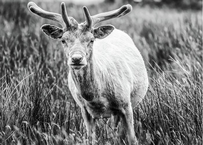 Deer Greeting Card featuring the photograph You Looking At Me? by Nick Bywater